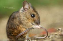 Mulot sylvestre, Apodemus sylvaticus, Wood mouse, France, Matthieu Berroneau, toilette, nettoyage, clean, cleaning