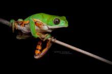 Pithecopus azureus, Brésil, Southern Orange-legged Leaf Frog, Ranita Mono Chaqueña, Brazil, Matthieu Berroneau