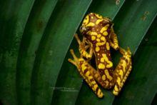 Imbabura Tree Frog, Rana Arbórea Colorida, Boana picturata, Equateur, Ecuador