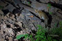 Leopardus pardalis, Brésil, Brazil, ocelot, Matthieu Berroneau