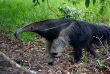 Myrmecophaga tridactyla, Brésil, Brazil, Matthieu Berroneau, Tamanduá-bandeira, fourmilier géant, giant anteater