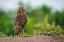 Athene cunicularia, Chevêche des terriers, Large-headed Burrowing Owl, Holenuil, Höhleneule, Coruja-Buraqueira, Lechucita de las vizcacheras, Murruco, Brazil, Brésil