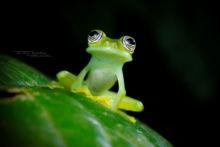 Sachatamia ilex, Equateur, Ecuador, Limon Giant Glass Frog, Matthieu Berroneau