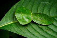Choeradodis rhombicollis, Equateur, Ecuador, Mantis de escudo, Peruvian Shield Mantis, Matthieu Berroneau