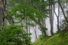 Hêtraie dans les nuages, Pyrénées-Atlantiques, Pyrénées, Mountain, Montagne, Matthieu Berroneau