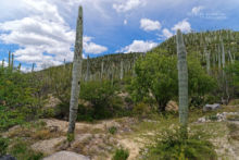 Western Black-Tailed Rattlesnake, Crotalus molossus oaxacus, Mexique, Mexico, Matthieu Berroneau, habitat, milieu, landscape