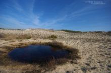 Pelobates cultripes, Western Spadefoot Toad, Pélobate cultripède, France, Matthieu Berroneau, sand, sable, dune, beach, plage, mare, pond