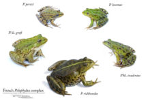 Amphibiens, Anoures, Fond blanc, Pelophylax, Ranidae, complexe