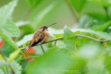Phaethornis strigularis, Costa Rica, Matthieu Berroneau, bird, colibri