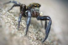 Pseudeuophrys erratica, Saltique, Salticidae, araignée, spider, arachnid, macro, ultra macro, laowa 25 macro, Matthieu Berroneau