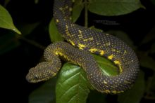 Mt Kenya Bush Viper