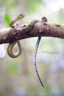 Atheris hispida, Uganda, Rough-scaled Bush Viper, Dragon, Matthieu Berroneau