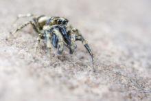 Salticus scenicus zebra, Saltique, Salticidae, araignée, spider, arachnid, macro, ultra macro, laowa 25 macro, Matthieu Berroneau