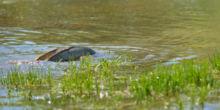 Carpe commune, carpe, poisson, carp, fish, reproduction, Matthieu Berroneau