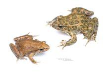 Discoglosse peint, Painted frog, Discoglossus pictus, Espagne, Espana, Spain