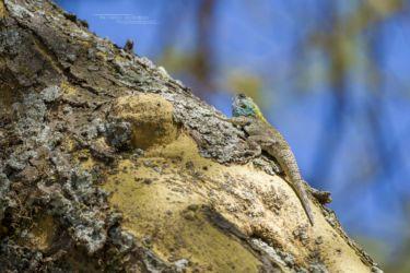 Agama caudospinosa - Elmenteita Rock Agama