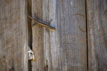 Trachylepis striata - African Striped Mabuya