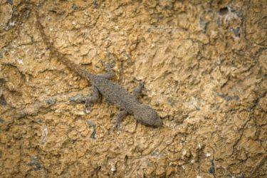 Lygodactylus capense - Cape Dwarf Gecko