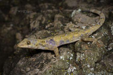 Hemidactylus mabouia - Tropical House Gecko