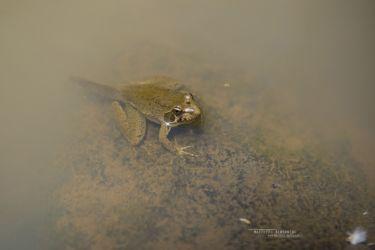 Amietia angolensis - Angolan River Frog