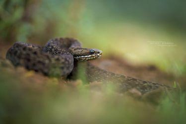 Montatheris hindii - Kenya Montane Viper