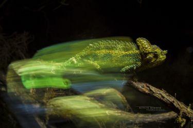 Trioceros hoehnelii - High-casqued Chameleon