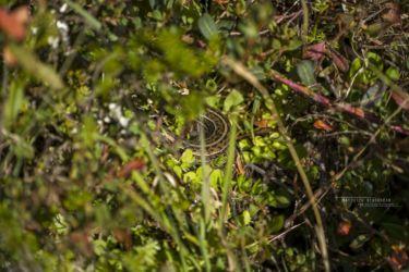 Seule photo de Trachylepis irregularis... - Unique picture of Alpine Meadow Mabuya...