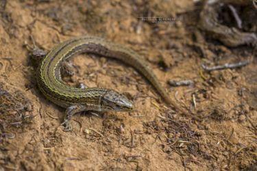 Adolfus masavaensis - Western alpine meadow lizard