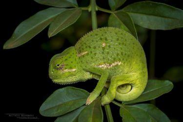 Chamaeleo dilepis - Flap-necked Chameleon