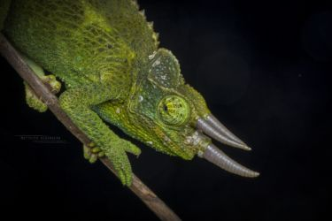 Trioceros jacksonii - Jackson's Three-horned Chameleon