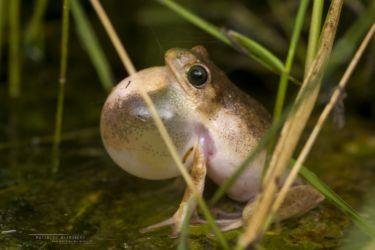 Hyperolius montanus - Mountain Reed Frog