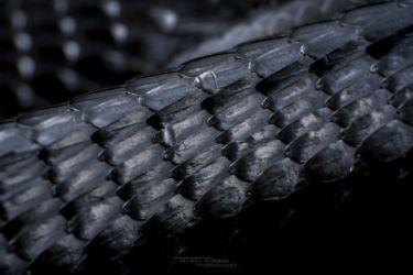 Thrasops jacksonii - Black Tree Snake