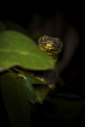 Atheris desaixi - Mt Kenya Bush Viper