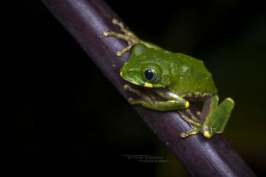 Leptopelis mackayi - Mackay's Forest Treefrog