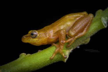 Hyperolius cinnamomeoventris - Cinnamon-bellied Reed Frog