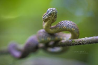 Atheris squamigera - Variable Bush Viper