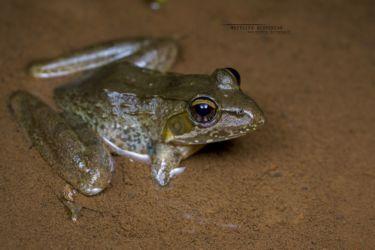 Amietia nutti - Nutt's River Frog