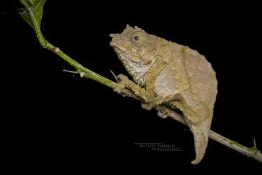 Rhampholeon boulengeri - Boulenger's pygmy chameleon
