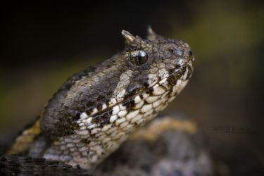 Bitis worthingtoni - Kenya Horned Viper