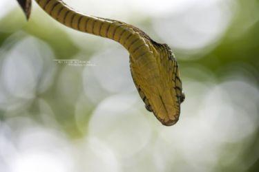 Toxicodryas blandingii - Blandings Tree Snake
