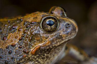 Tomopterna cryptotis - Tremelo Sand Frog