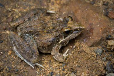 Ptychadena anchietae - Anchieta's Ridged Frog