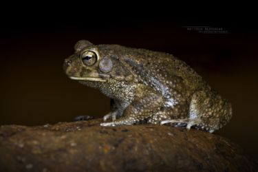 Sclerophrys xeros - Subdesert Toad