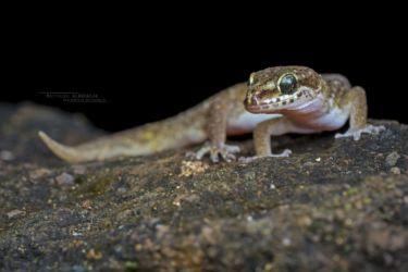 Hemidactylus squamulatus - Tornier's Leaf-toed Gecko
