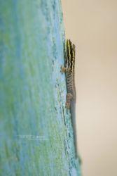 Lygodactylus manni - Mann's Dwarf Gecko