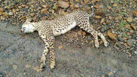 Guépard fraîchement tué sur la route - Cheetah dead on road