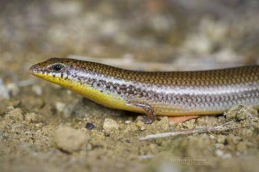 Mochlus sundevallii - Peters' Eyelid Skink