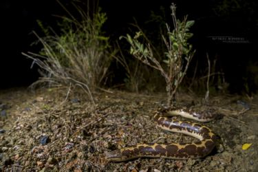 Eryx colubrinus - East African Sand Boa