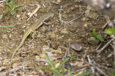 Latastia longicaudata - Common Long-tailed Lizard