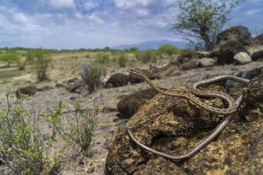 Psammophis tanganicus - Tanganyika Sand Snake